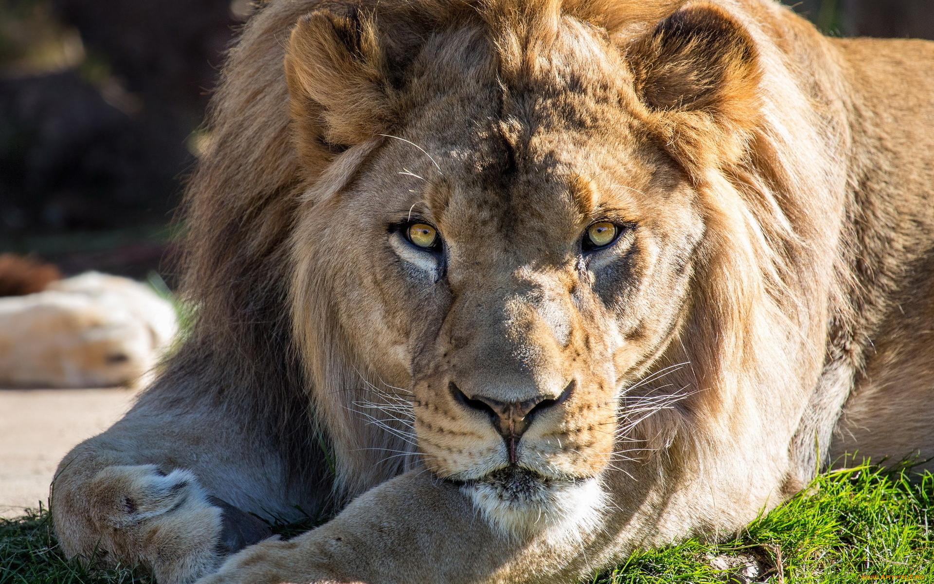 новый год картинки лев хорошего качества обладает многими положительными
